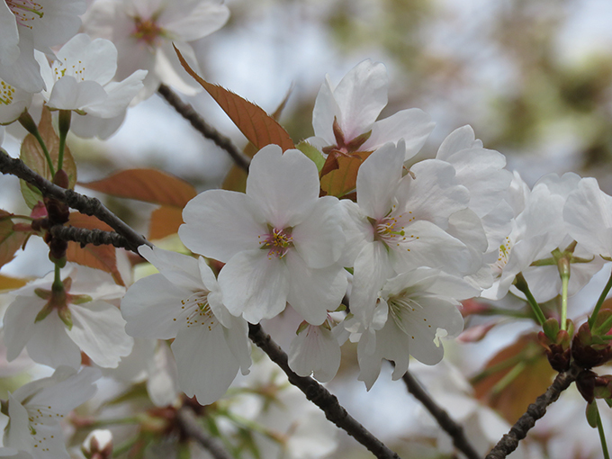 24山桜.jpg