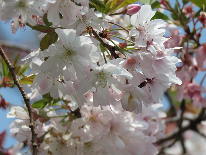 6十月桜.jpg