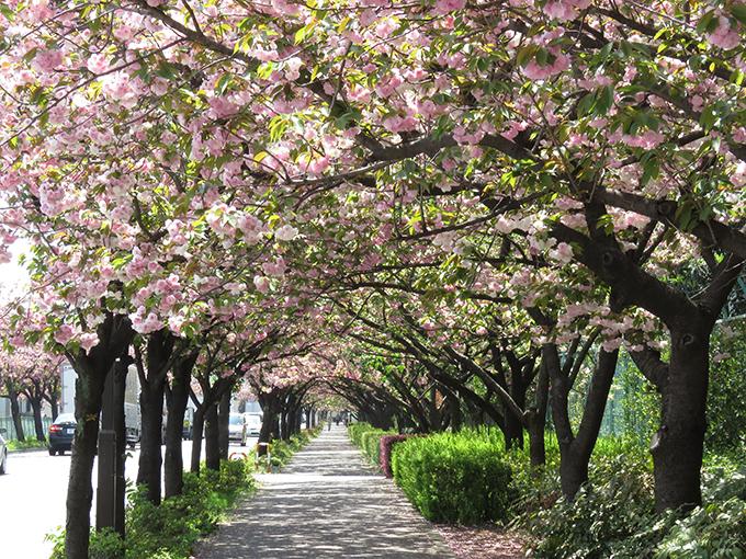 五色桜.jpg