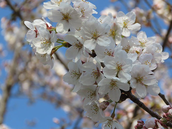 桜8.jpg
