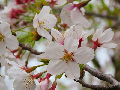 舎人桜1.jpg