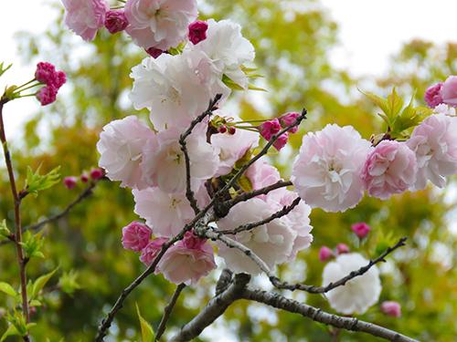 舎人桜2.jpg
