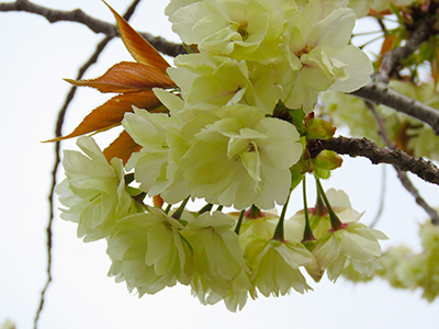 舎人桜3.jpg