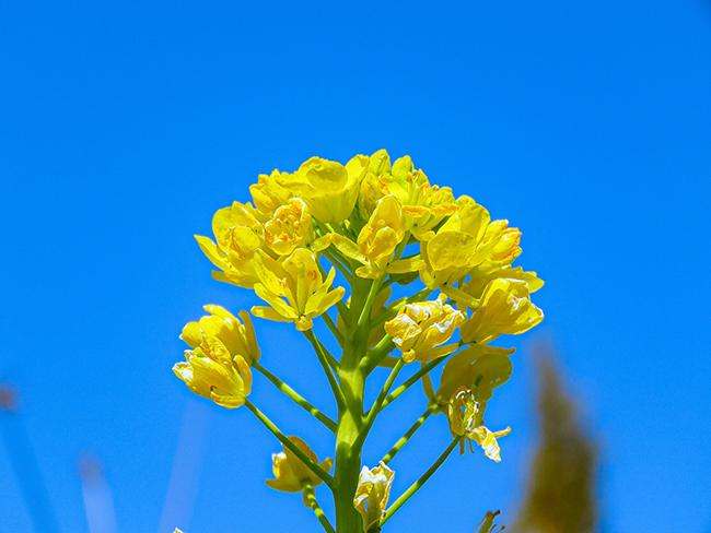花壇の菜の花.jpg